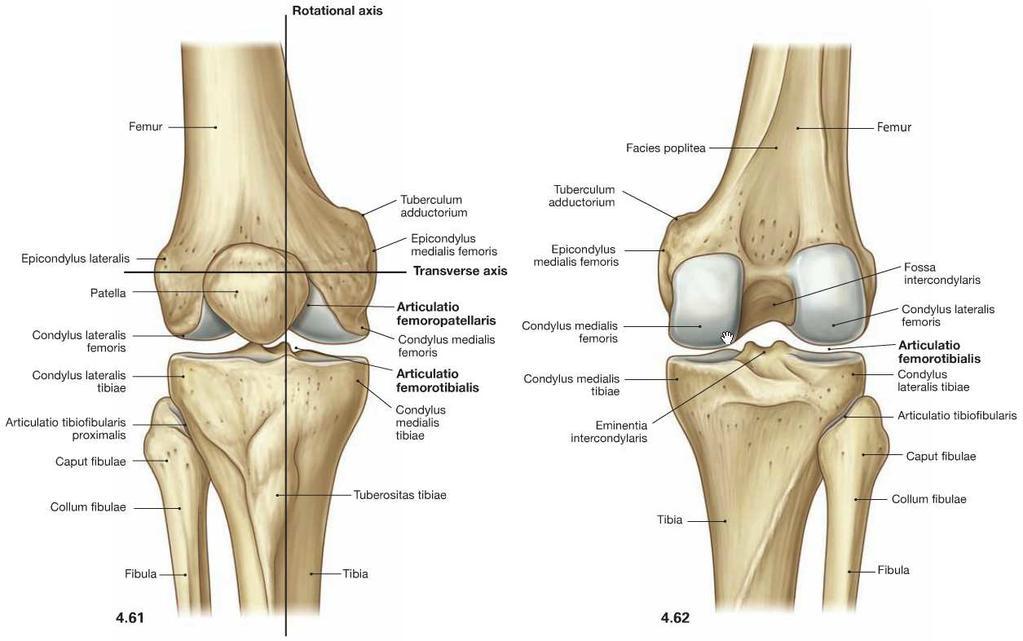 A térdízület anatómiája és biomechanikája