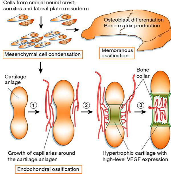 hisztogenezisében. porc növekedése és regenerációja