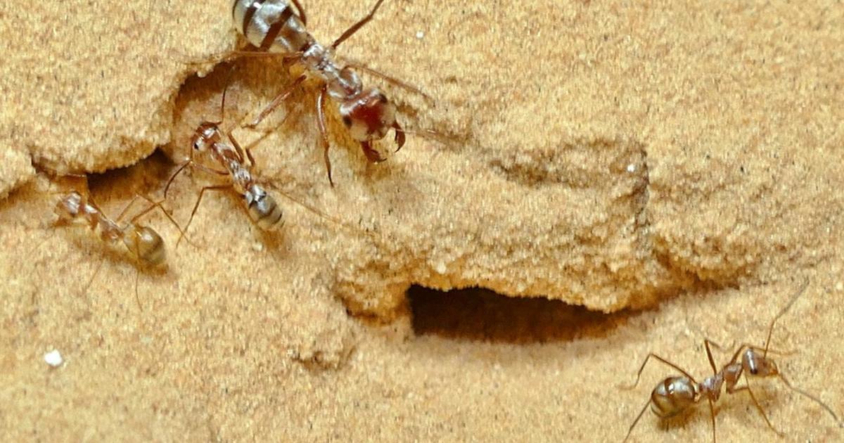 Index - Tudomány - Ellenálló hangya inváziója fenyegeti Amerikát