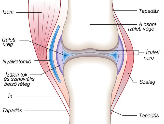térdízület gyulladás szinoviális membránja a fibula ízületének fájdalma