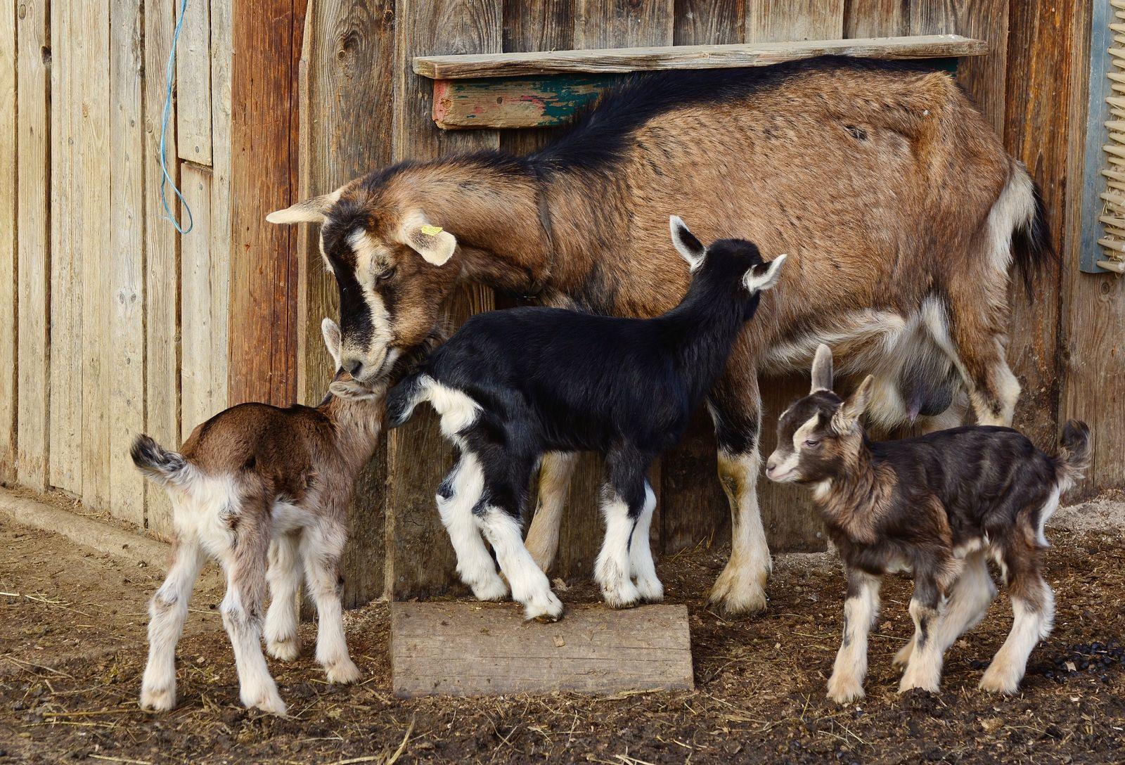 A kecske és a káposzta | Demokrata