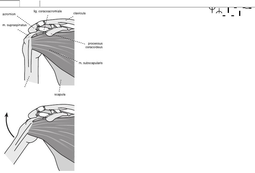A combcsont tünetei. Az subscapularis izom: funkciók, képek