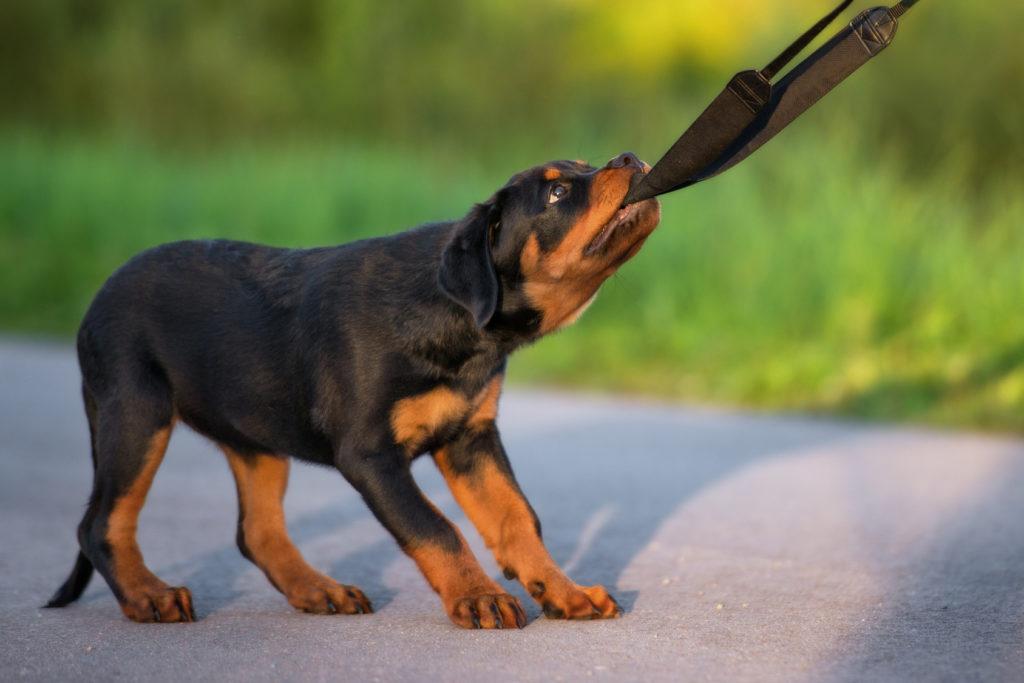 rottweiler ízületi betegség