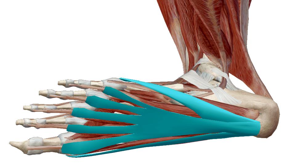 A fibula ízületének fájdalma. Radiológia | Digitális Tankönyvtár