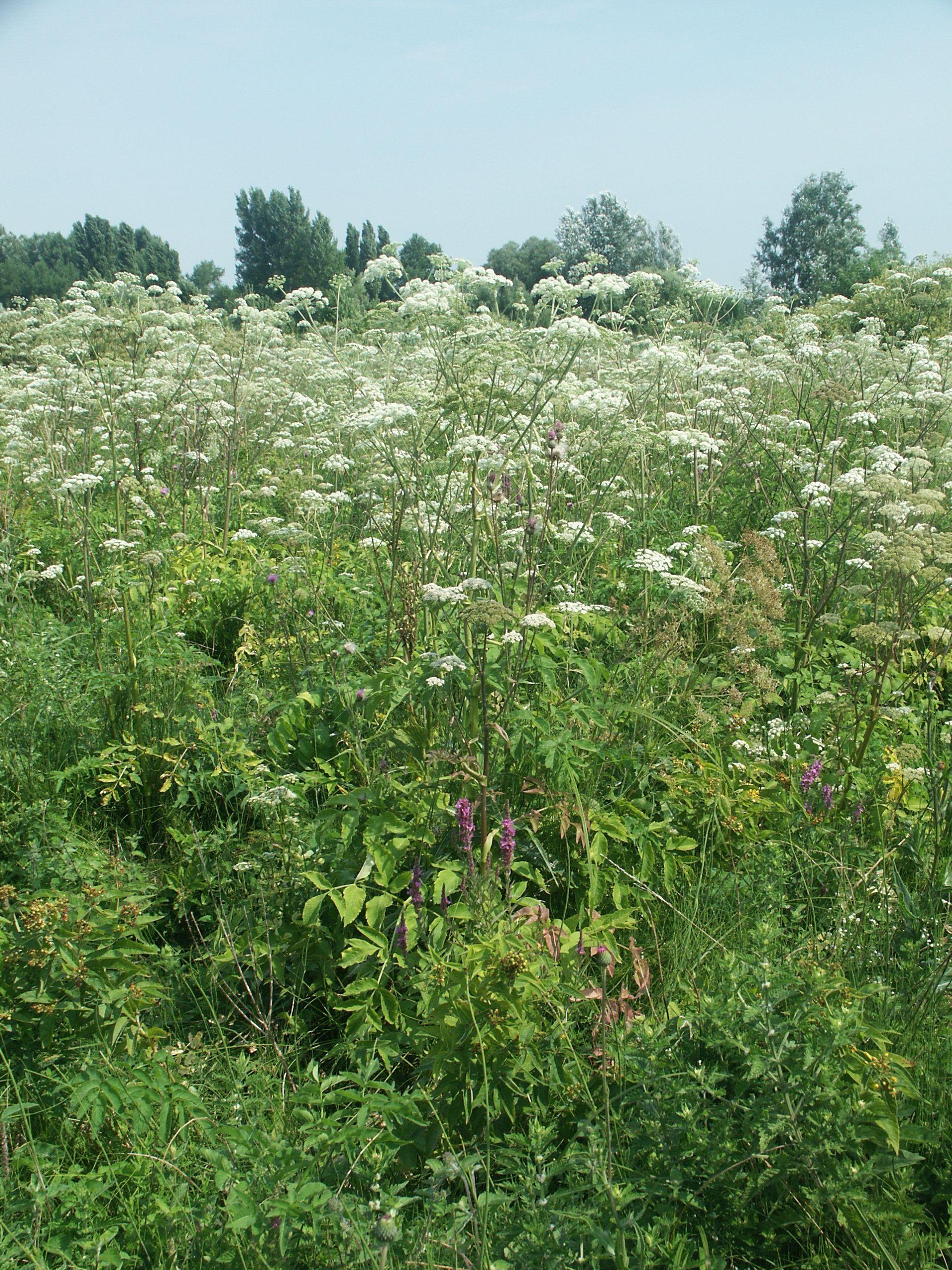 A pompás medinilla (Medinilla magnifica) gondozása