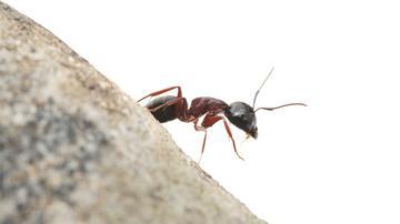 hangyák közös kezelésre